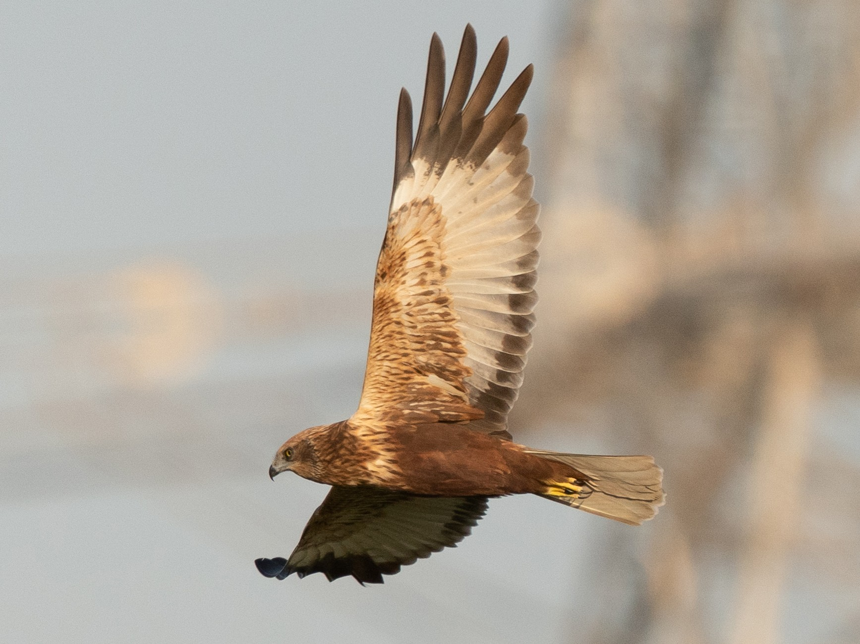 Eurasian Marsh-Harrier - Laurent Esselen