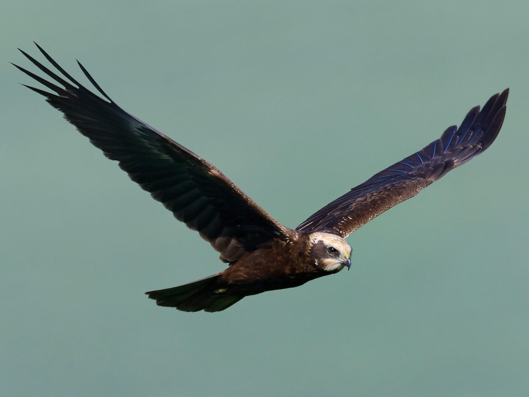 Eurasian Marsh-Harrier - Pavel Štěpánek