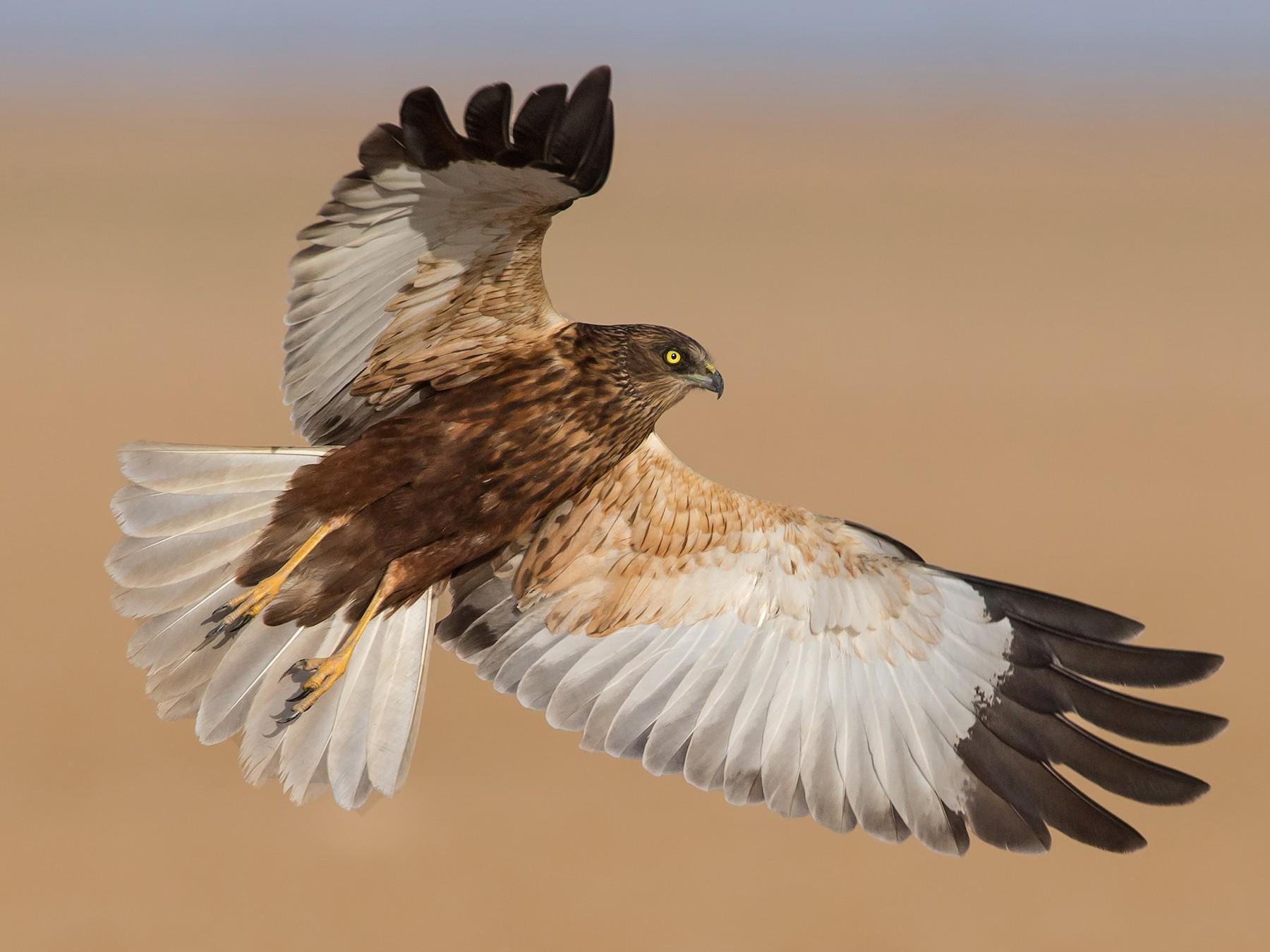 Eurasian Marsh-Harrier - Marco Valentini