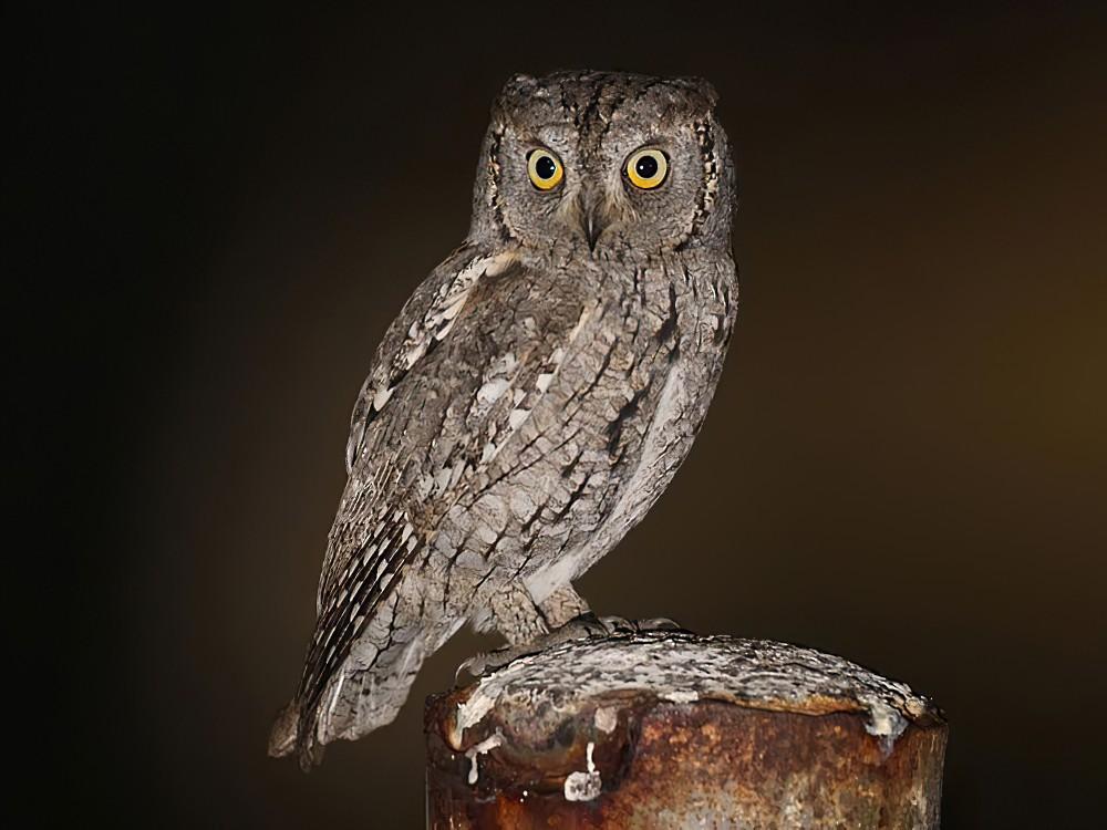 Eurasian Scops-Owl - Khalifa Al Dhaheri