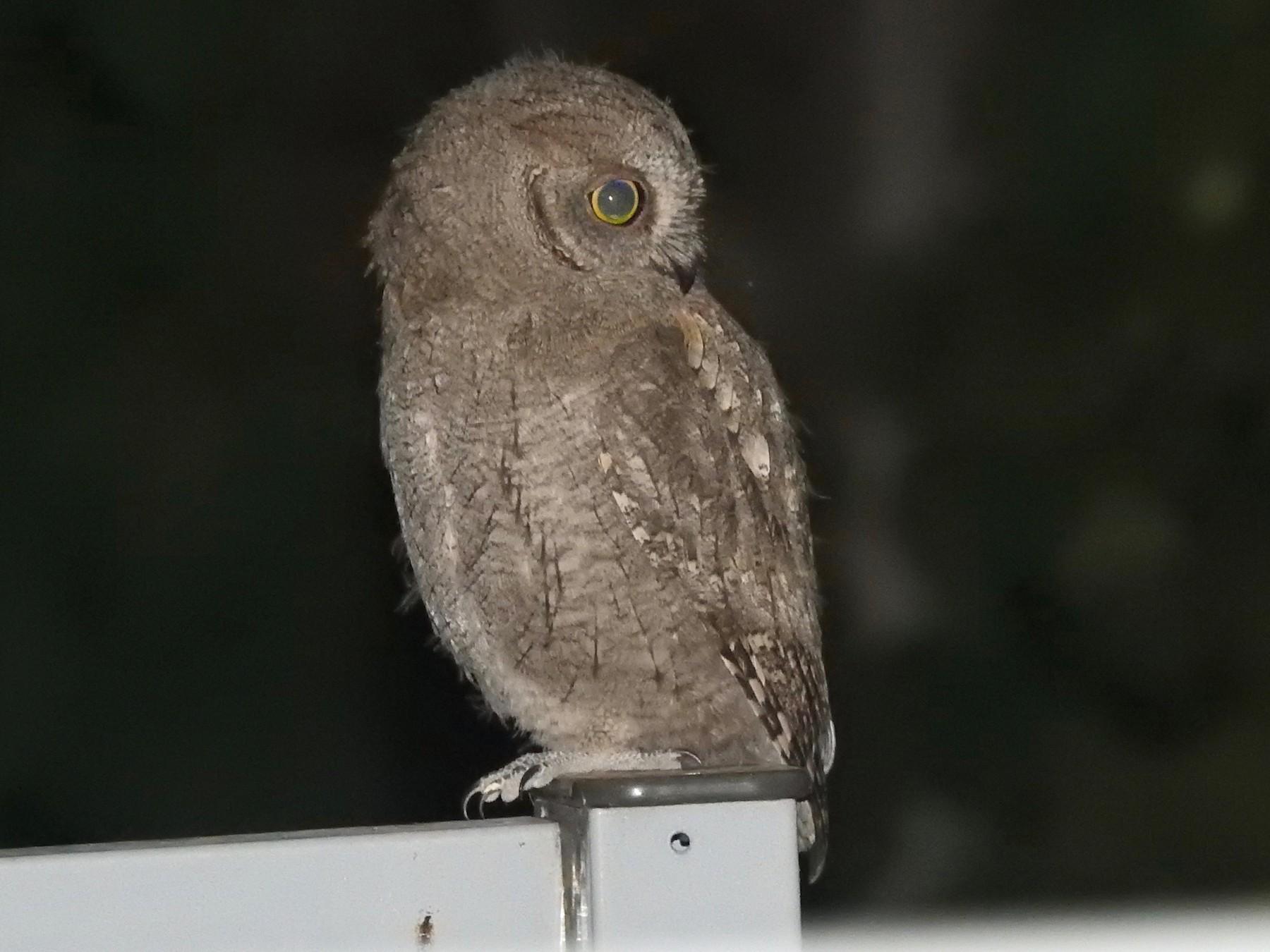 Eurasian Scops-Owl - Jorge  Fernández González