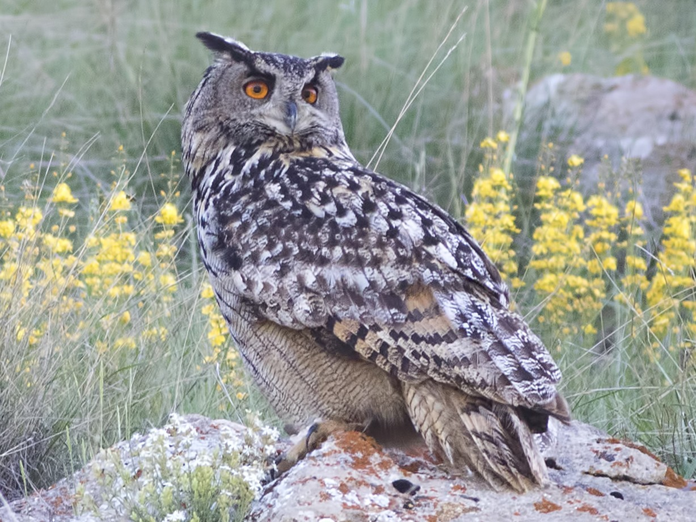 Eurasian Eagle-Owl - birol hatinoğlu