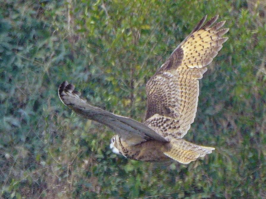 Eurasian Eagle-Owl - Niao Pan