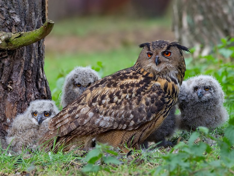 Eurasian Eagle-Owl - Paul Cools