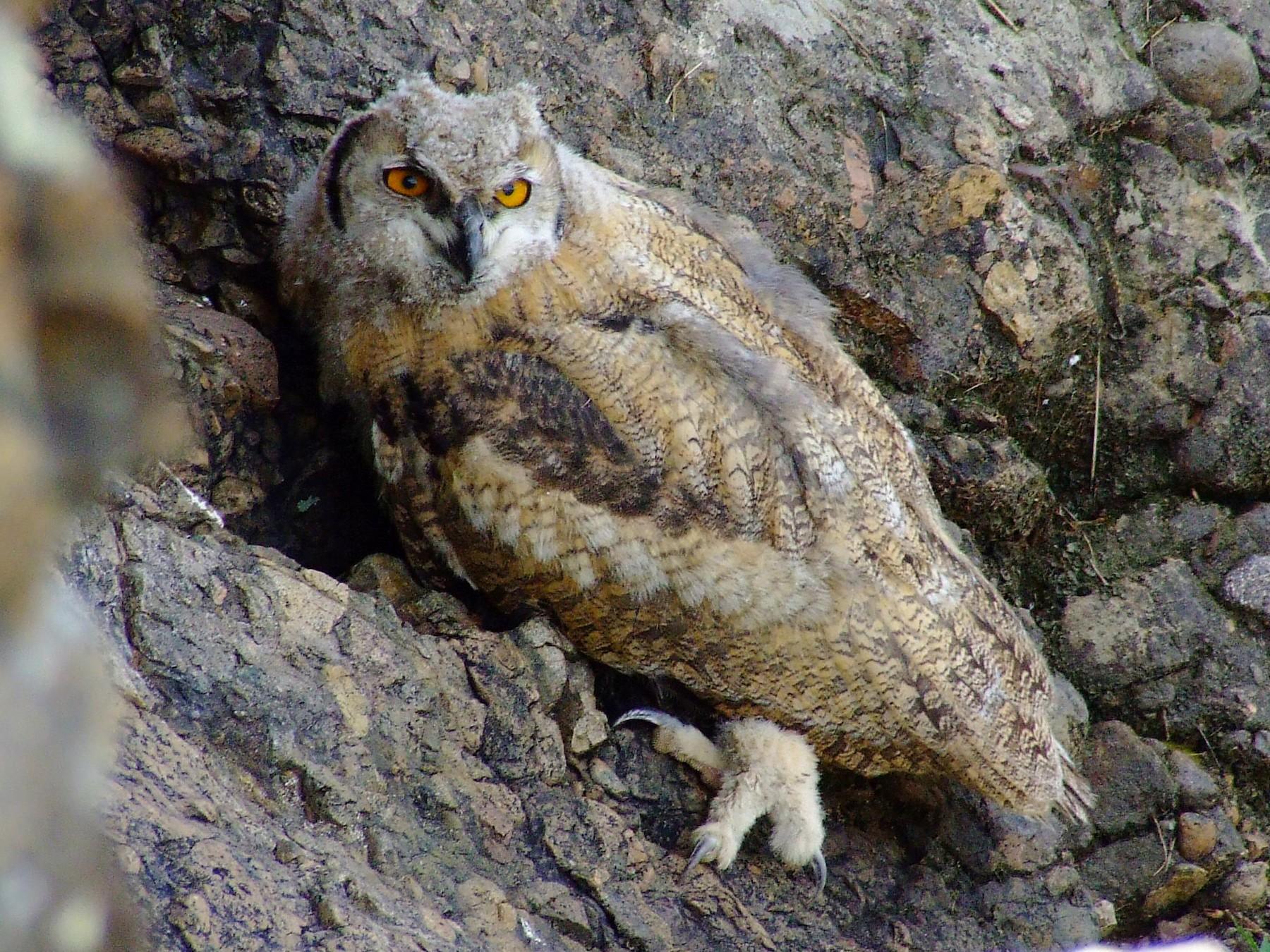 Eurasian Eagle-Owl - Shane McPherson