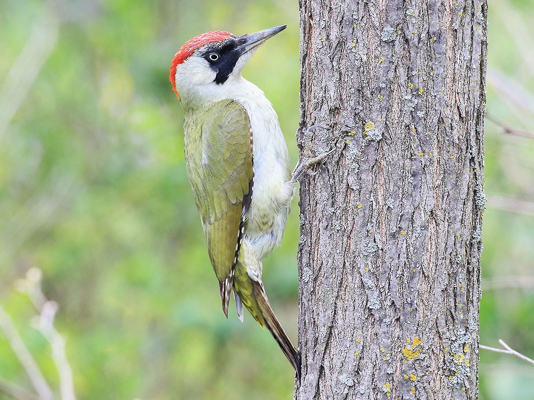 Eurasian Green Woodpecker - Vladimir Deryabin