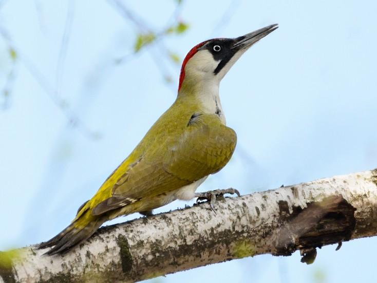 Eurasian Green Woodpecker - Natalya Ostapova
