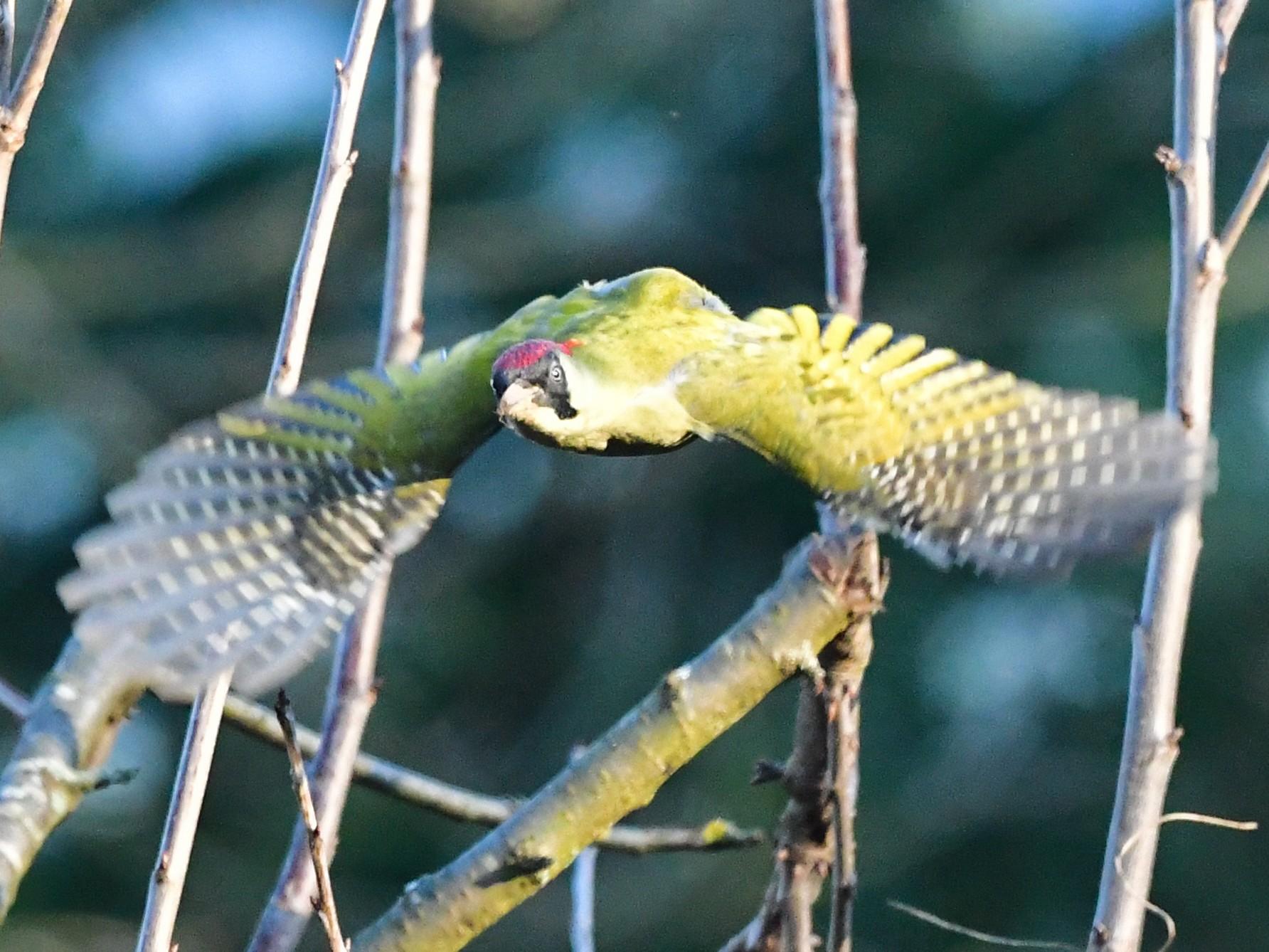 Eurasian Green Woodpecker - Denis Neukomm