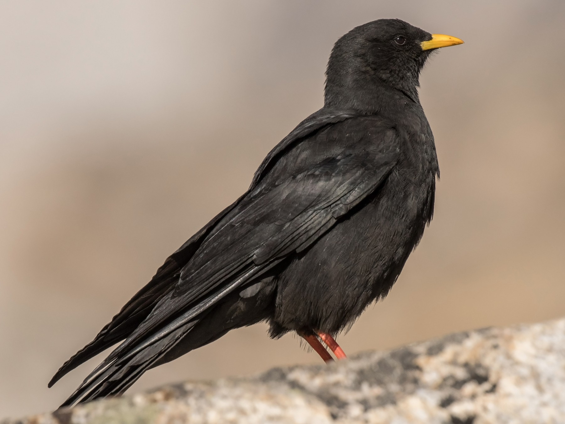 Yellow-billed Chough - William Hearn
