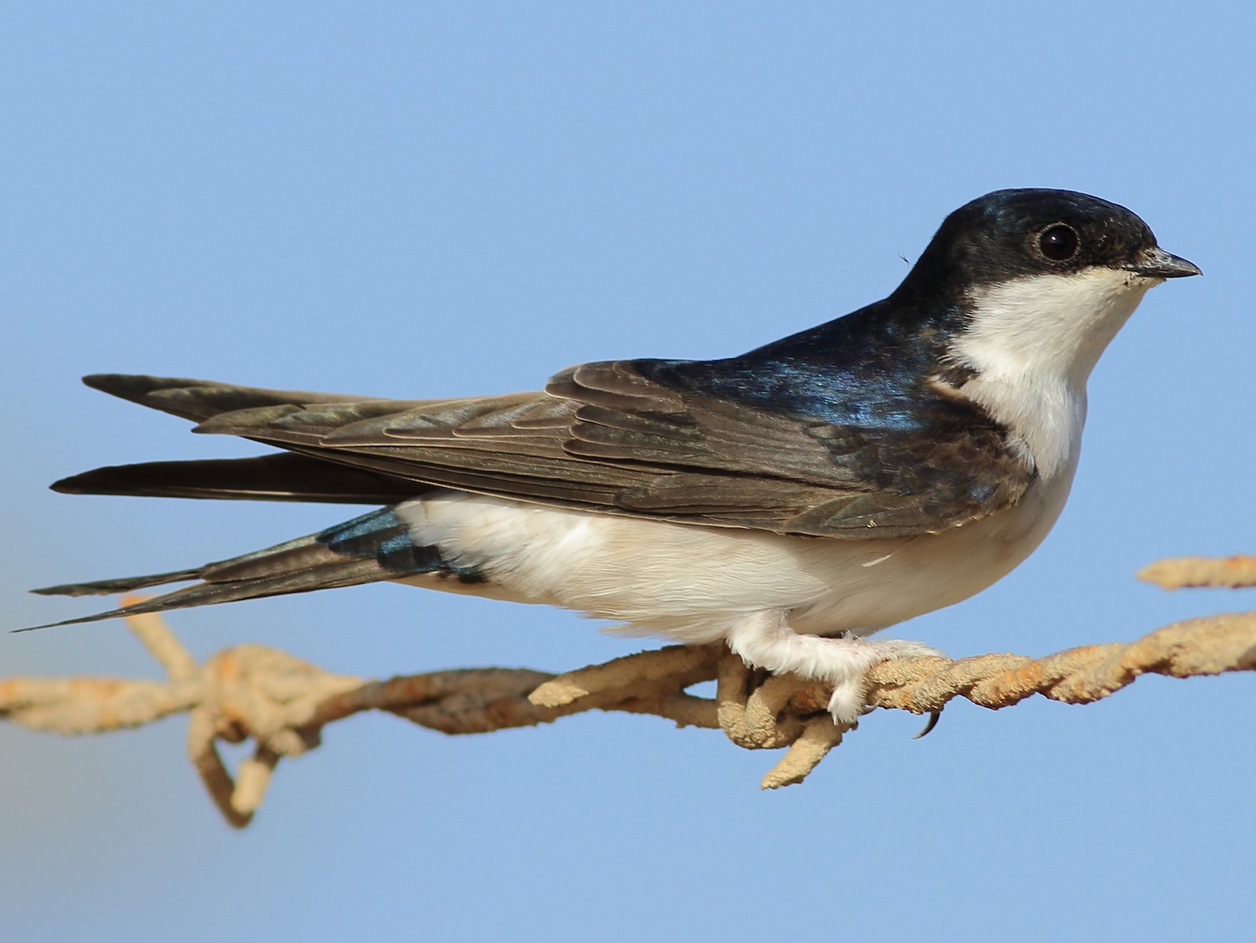 Common House-Martin - Sérgio Correia