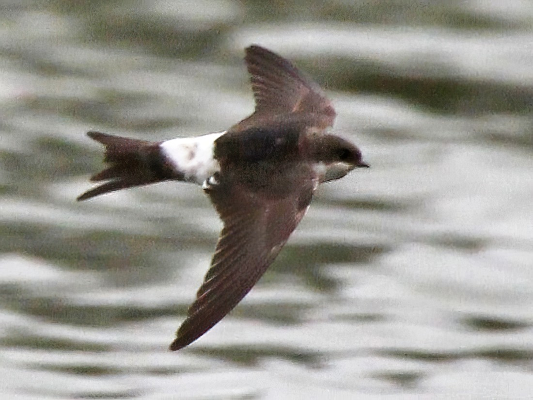 Common House-Martin - Paul Chapman