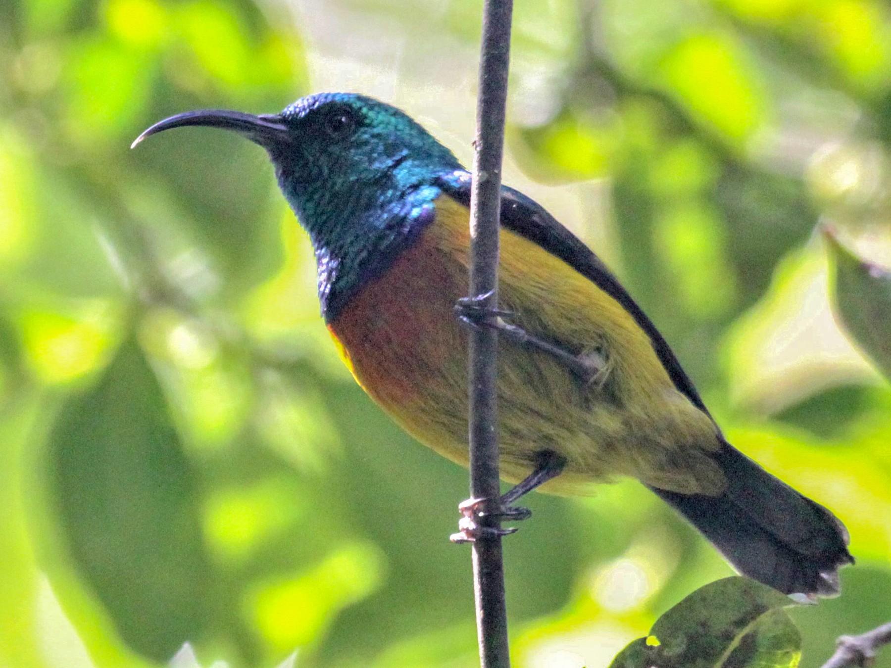 Loveridge's Sunbird - Charles Davies