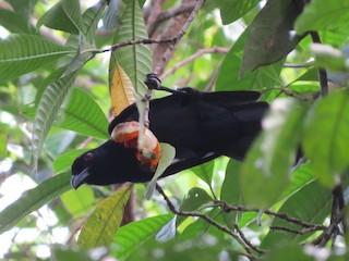 - Black Magpie