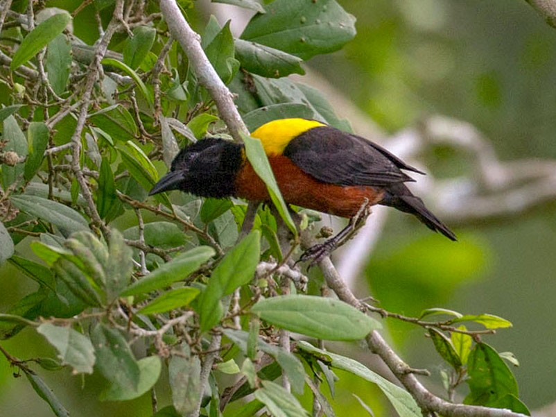 Yellow-mantled Weaver - Lars Petersson