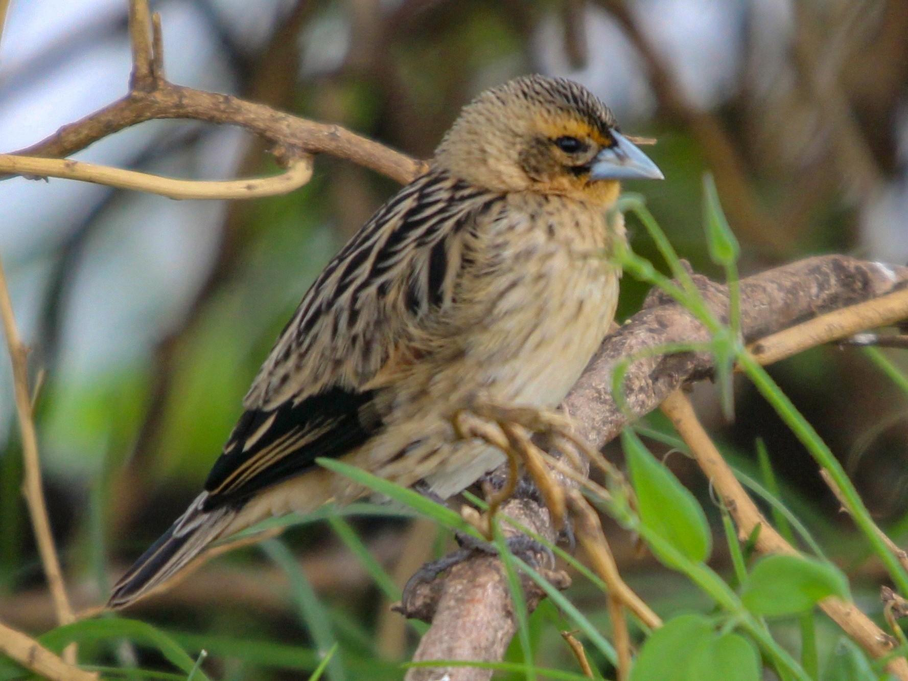 Jackson's Widowbird - Daniel S.