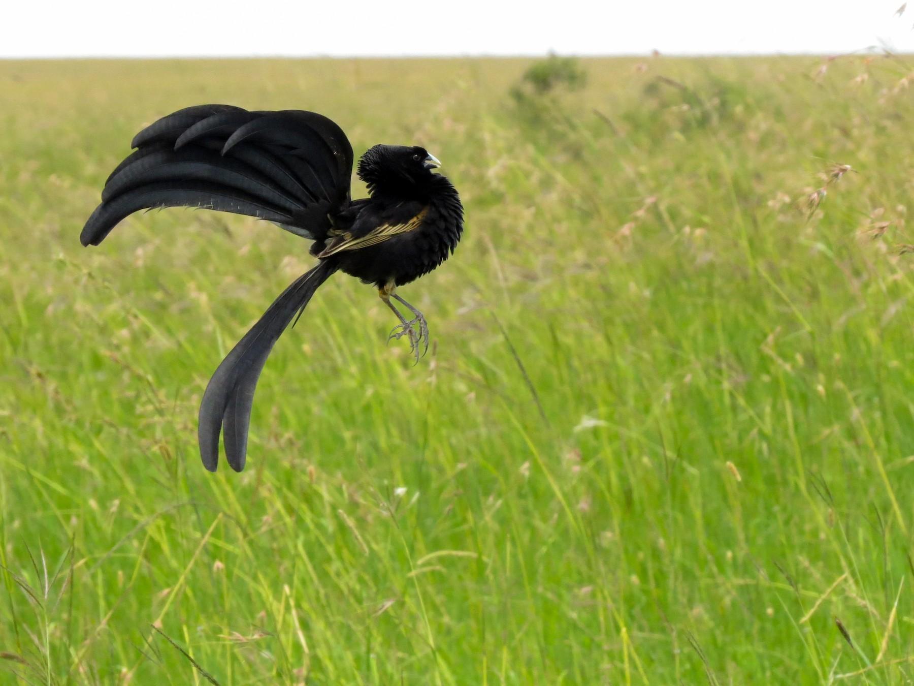 Jackson's Widowbird - Shane McPherson