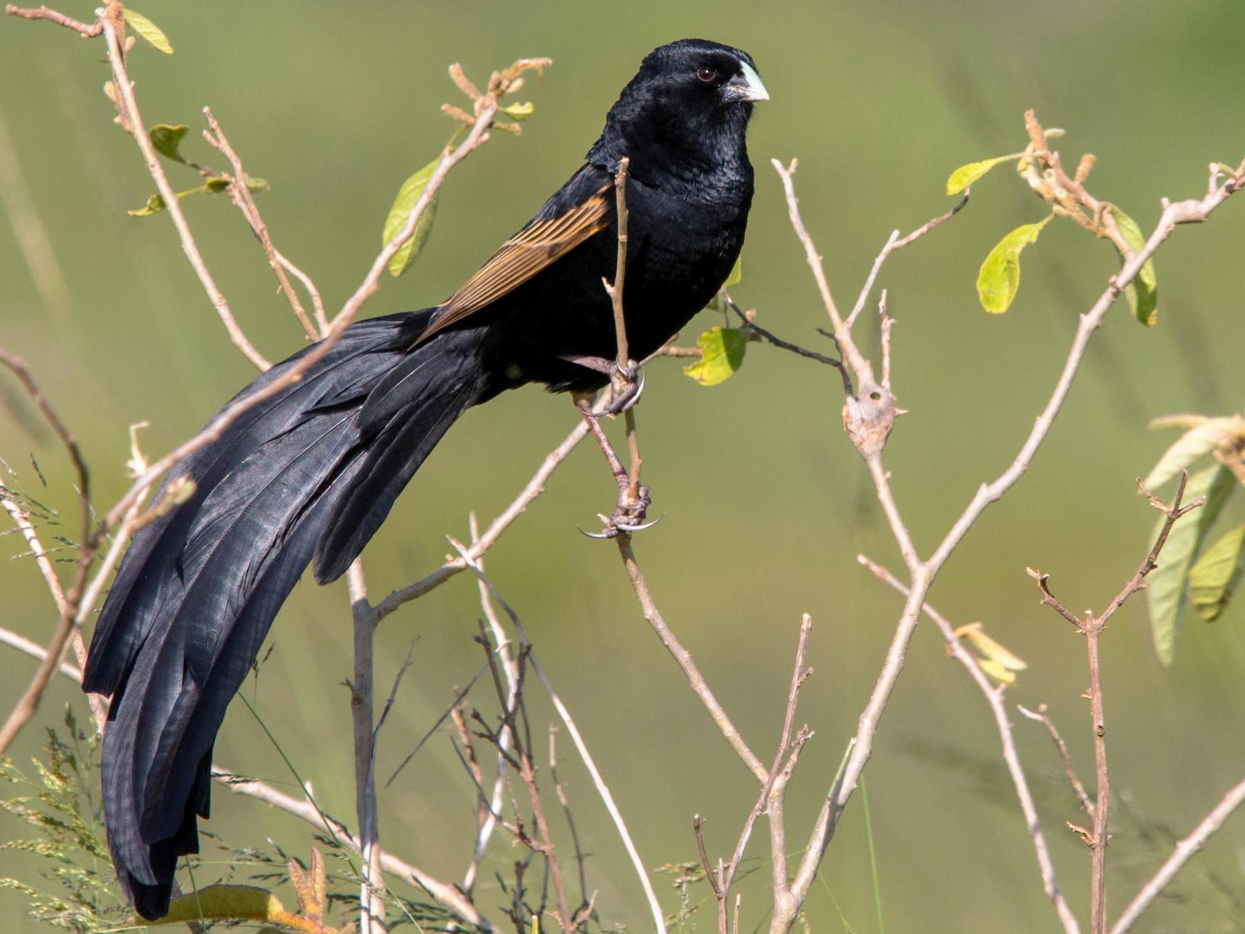 Jackson's Widowbird - Kevin Vande Vusse