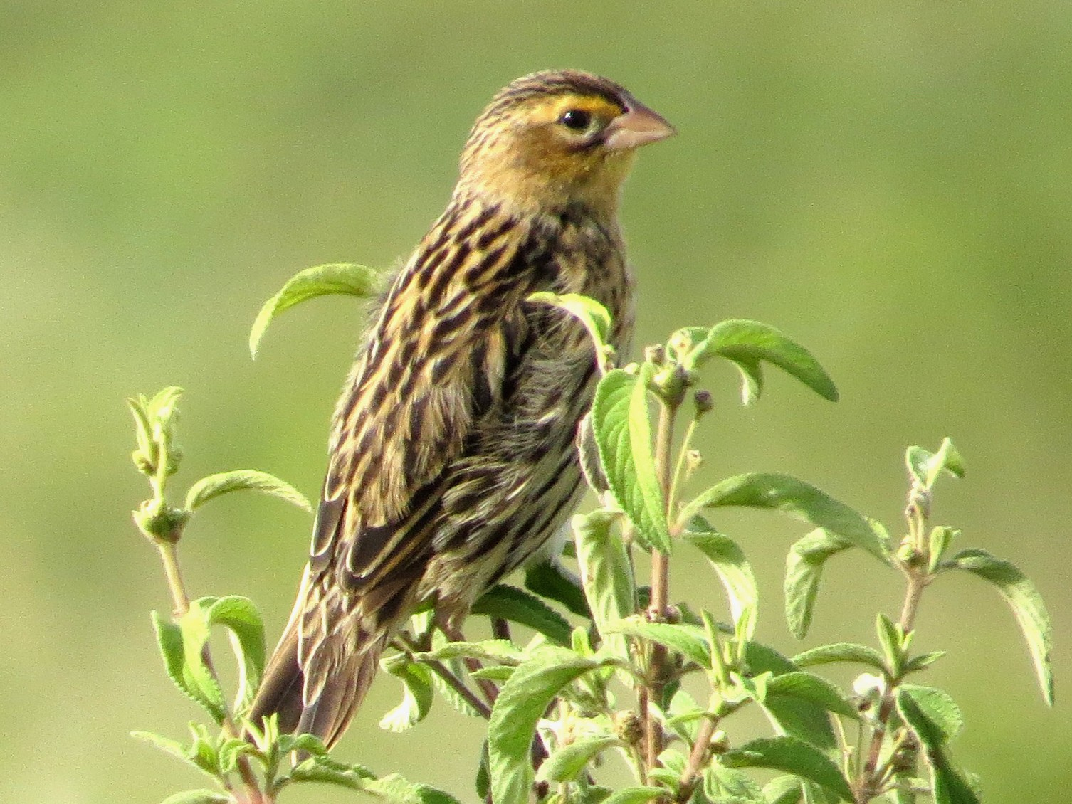 Jackson's Widowbird - Vickie Buck