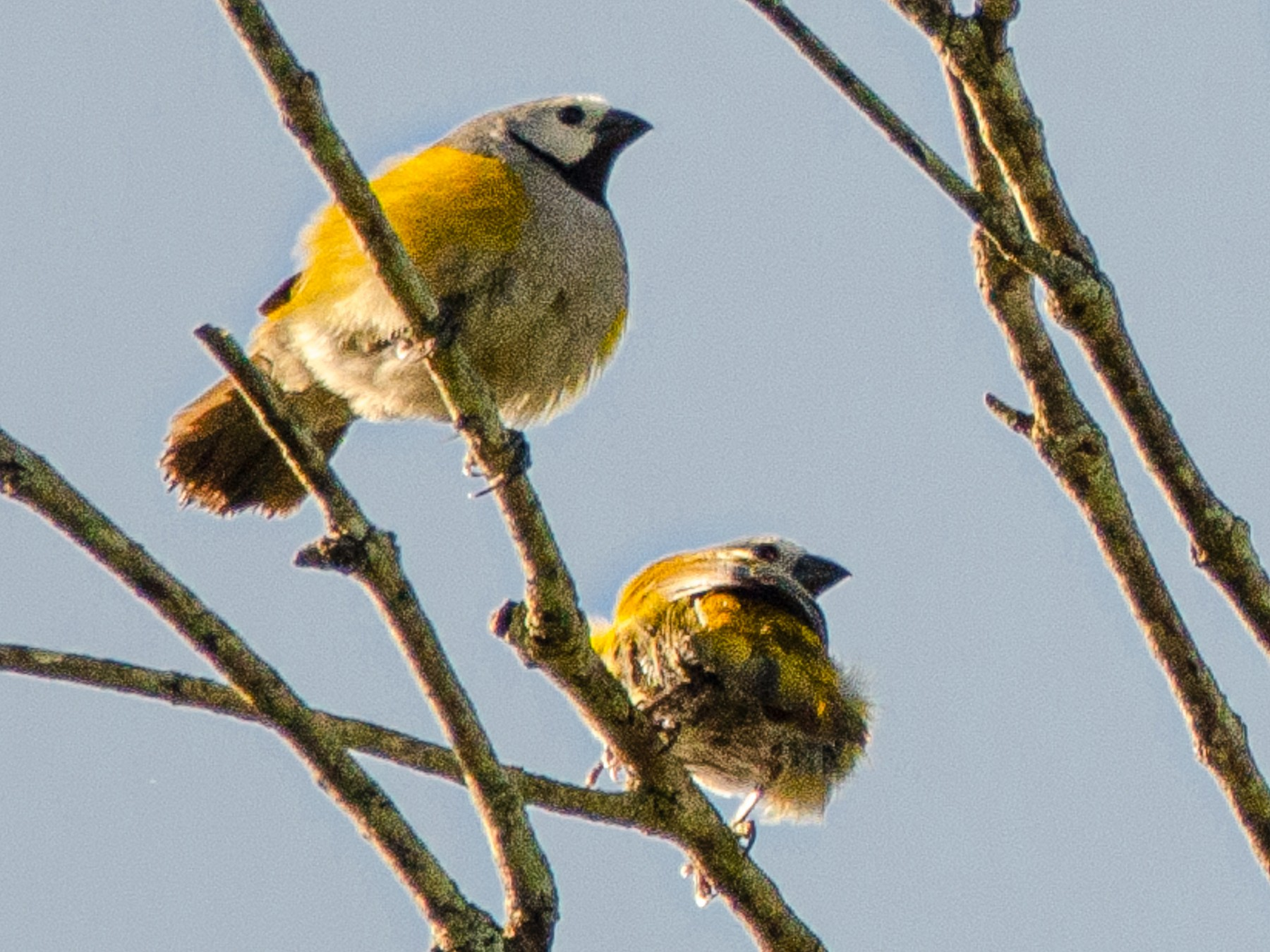 Gray-headed Oliveback - Antoon De Vylder