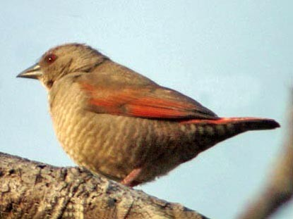 Red-winged Pytilia - Don Roberson