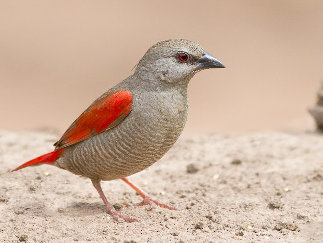 Red-winged Pytilia - Mattias Hofstede