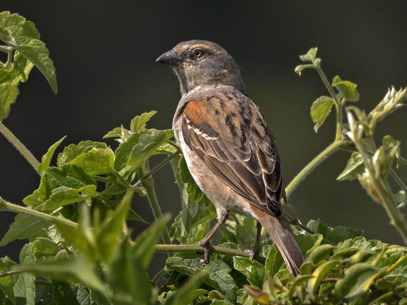 Kenya Rufous Sparrow - Lars Petersson