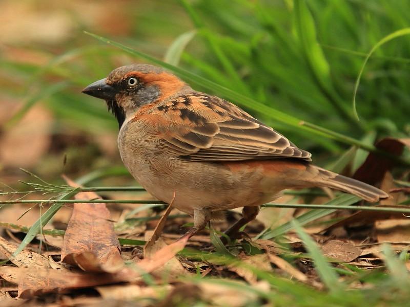 Kenya Rufous Sparrow - Tadeusz Rosinski