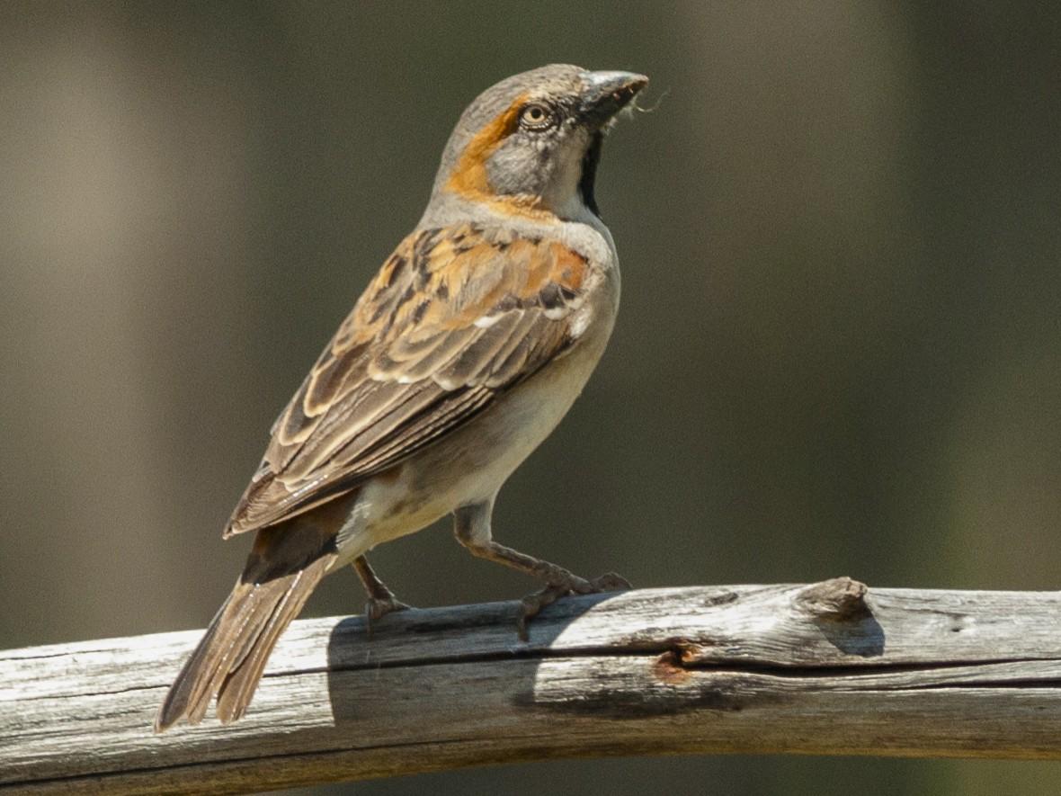 Kenya Rufous Sparrow - Claudia Brasileiro