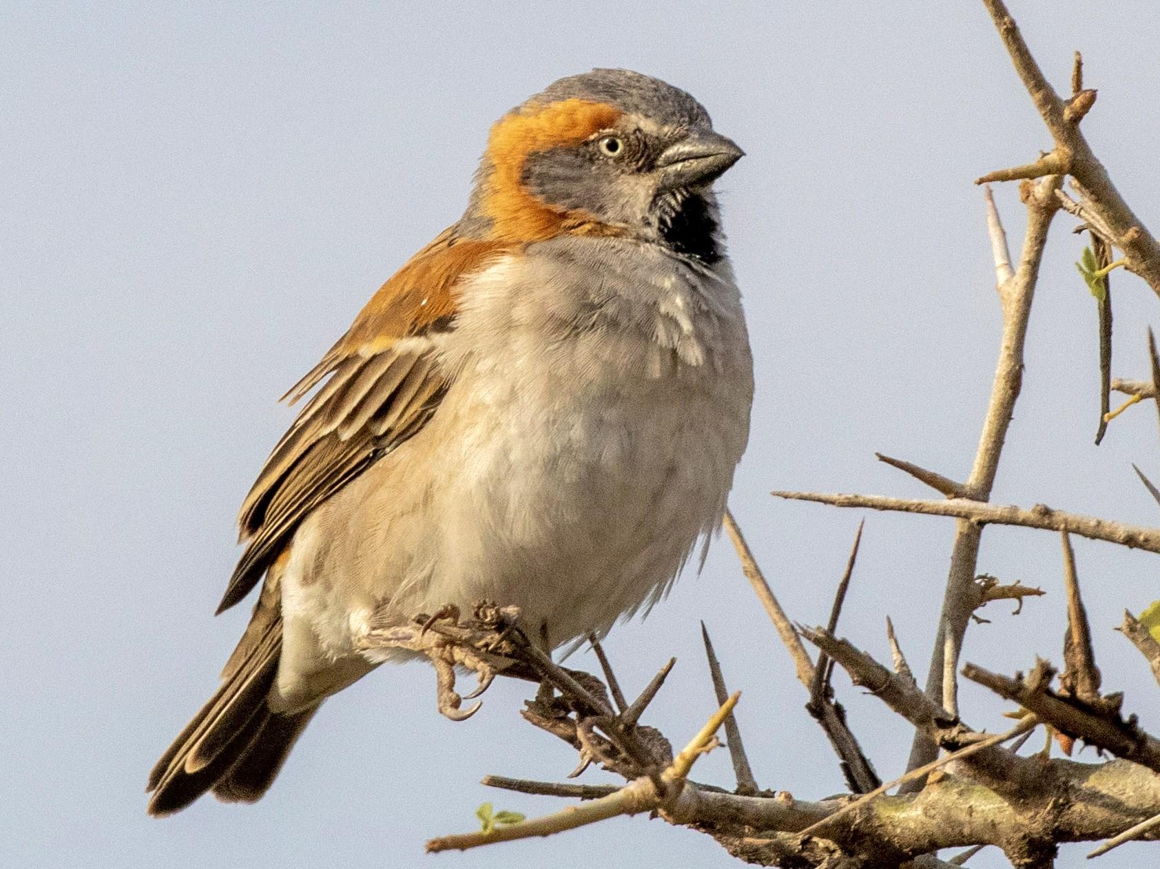 Kenya Rufous Sparrow - Charles Robshaw