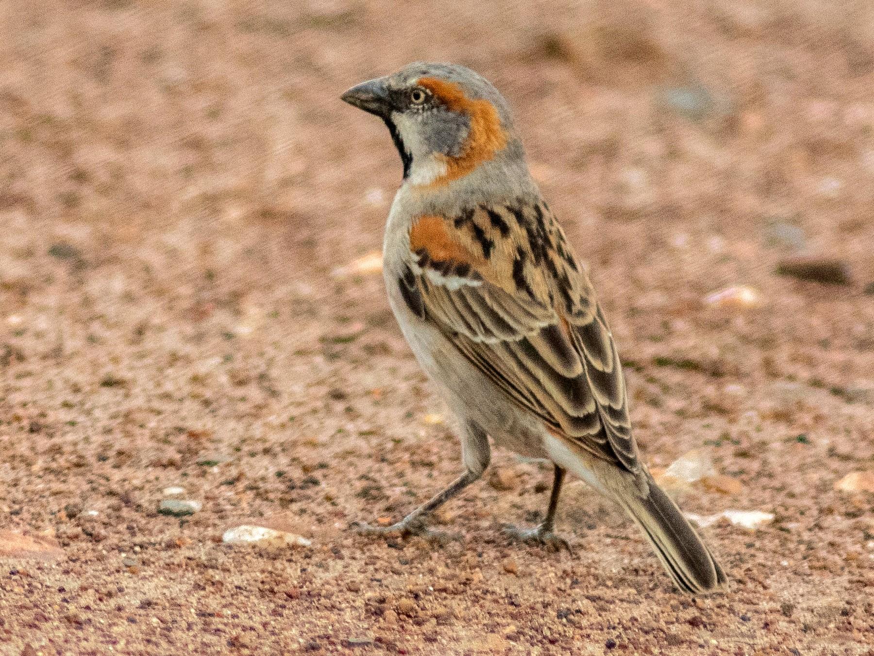 Kenya Rufous Sparrow - Susan Mac