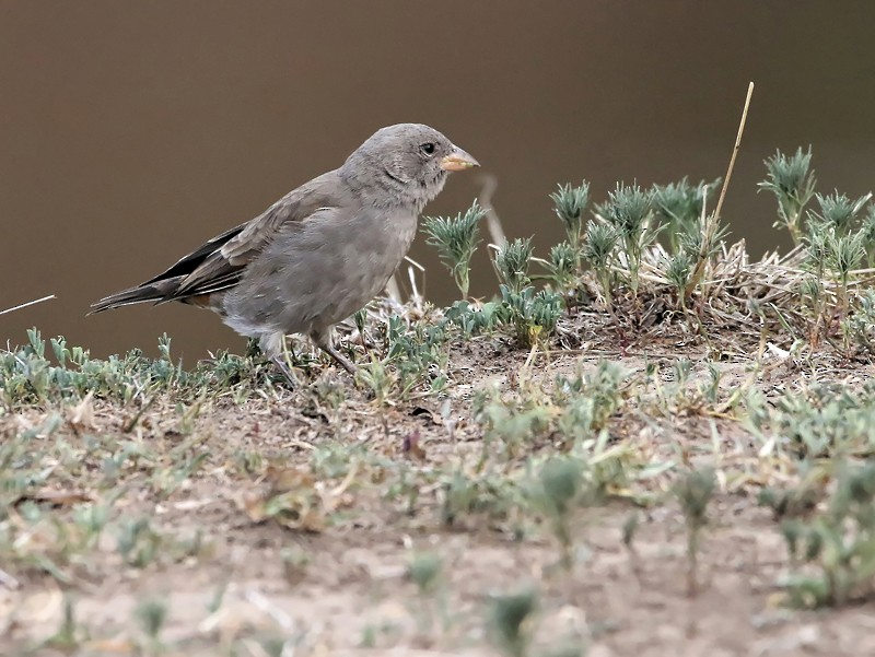 Swahili Sparrow - Nathalie SANTA MARIA