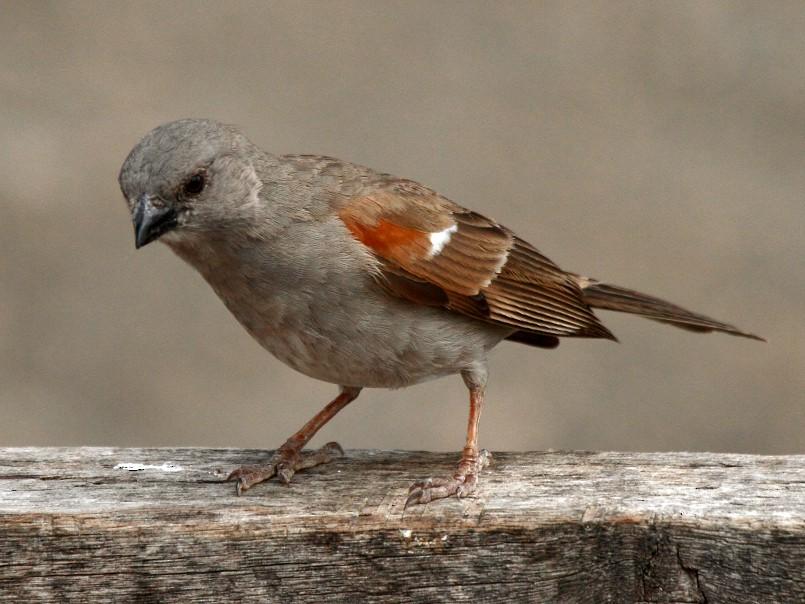 Swahili Sparrow - Fabio Olmos