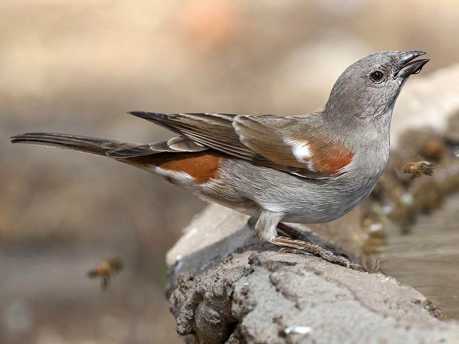 Swahili Sparrow - Charley Hesse https://www.schoolofbirding.com/