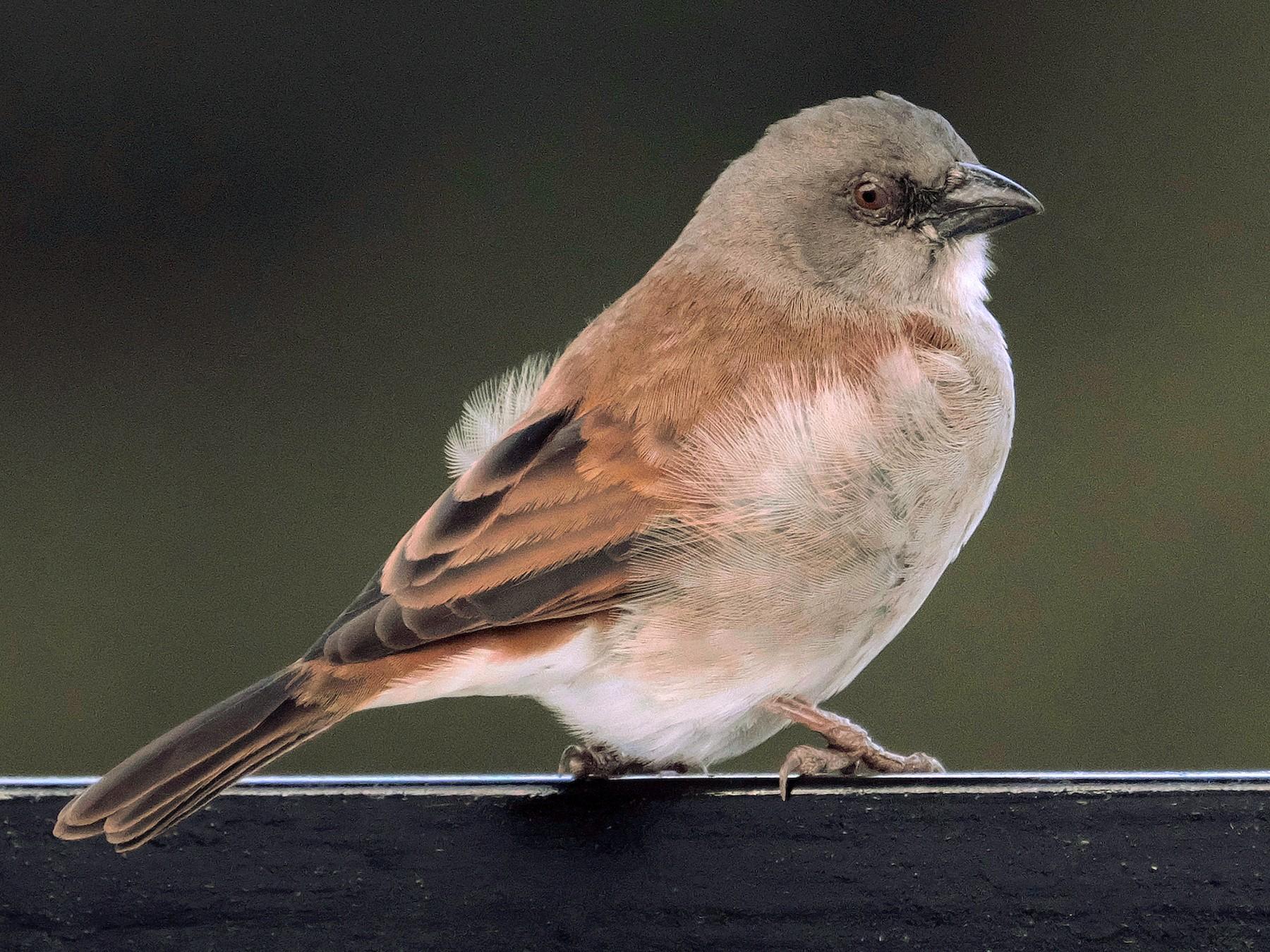 Swahili Sparrow - xiwen CHEN