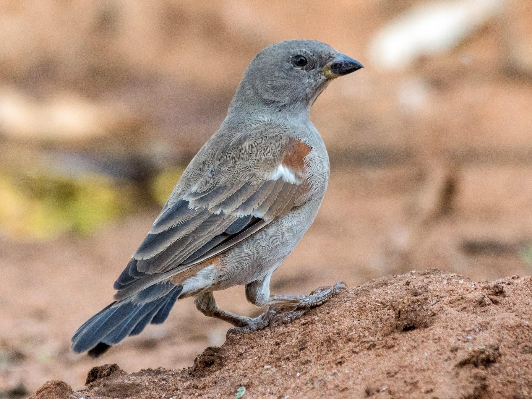Swahili Sparrow - T I