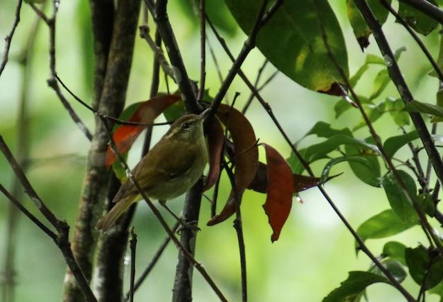 Sulawesi Leaf Warbler (Lompobattang)