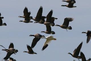 Ross's Goose, ML25916821