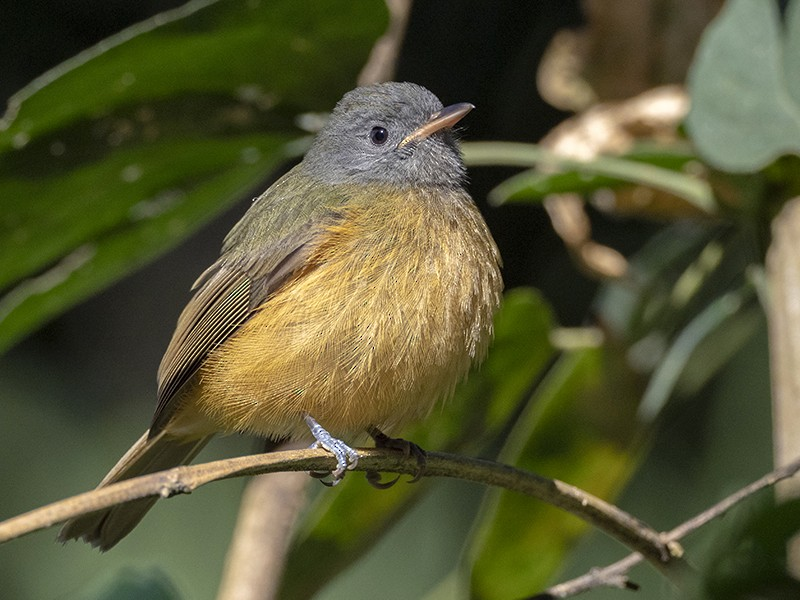 Gray-hooded Flycatcher - Andres Vasquez Noboa - Tropical Birding Tours