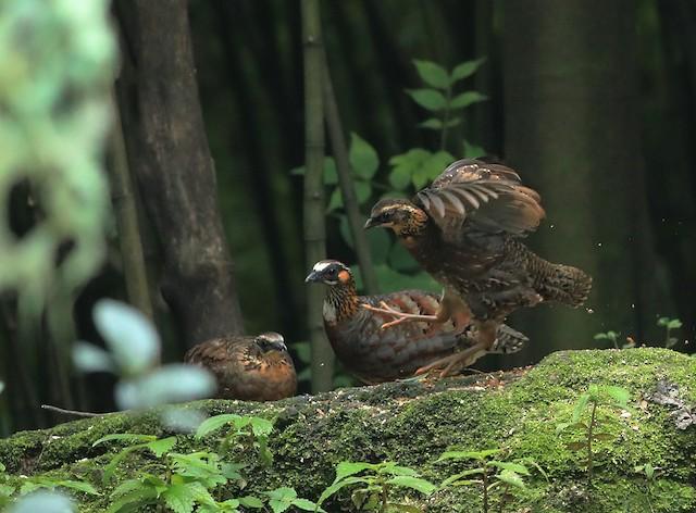Sichuan Partridge