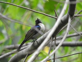 - Uluguru Violet-backed Sunbird