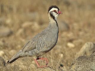 - Arabian Partridge