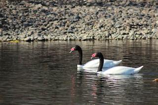 Black-necked Swan