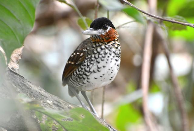 Black-crowned Antpitta