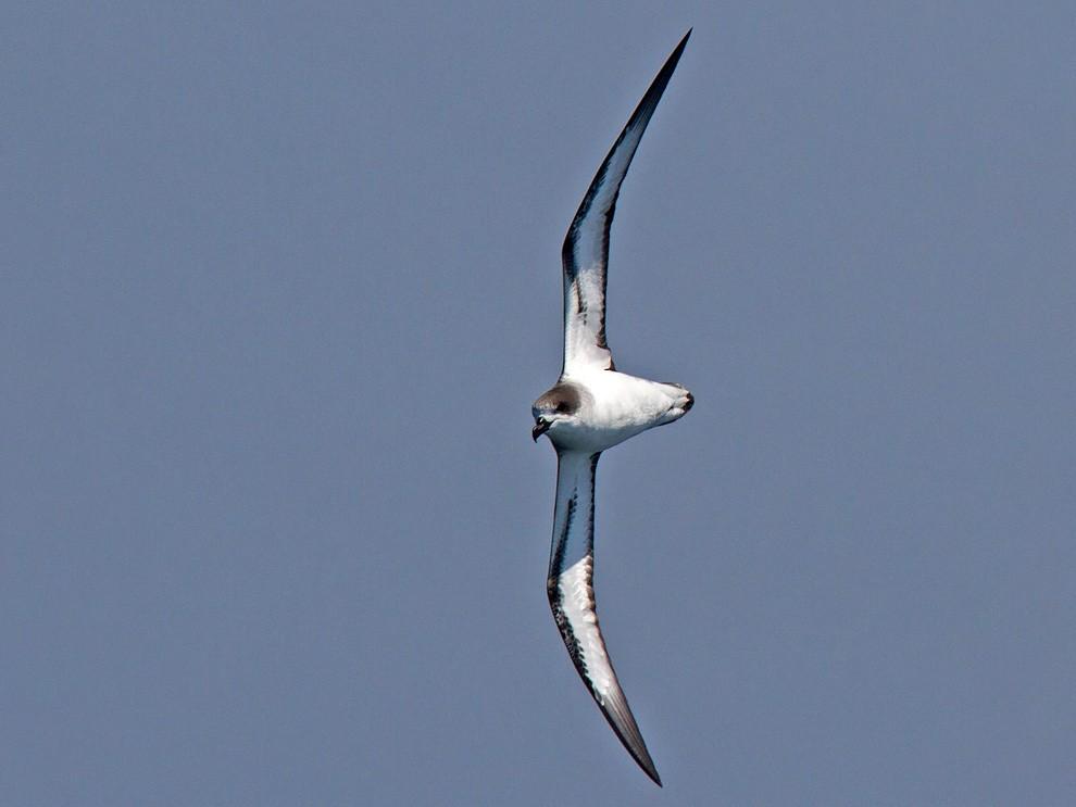 Barau's Petrel - Niall D Perrins