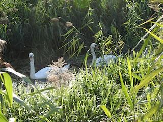 Mute Swan, ML260636911