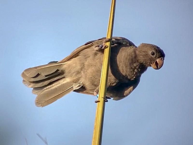 Seychelles Parrot - Patrick Finch
