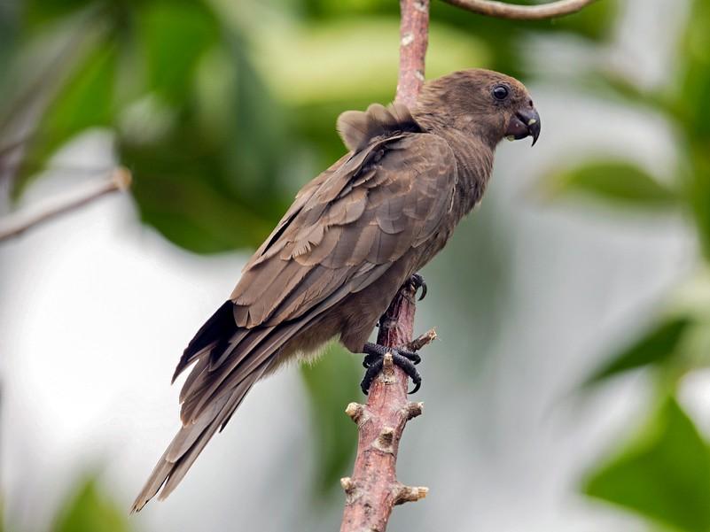 Seychelles Parrot - 独行虾 Bird.soong