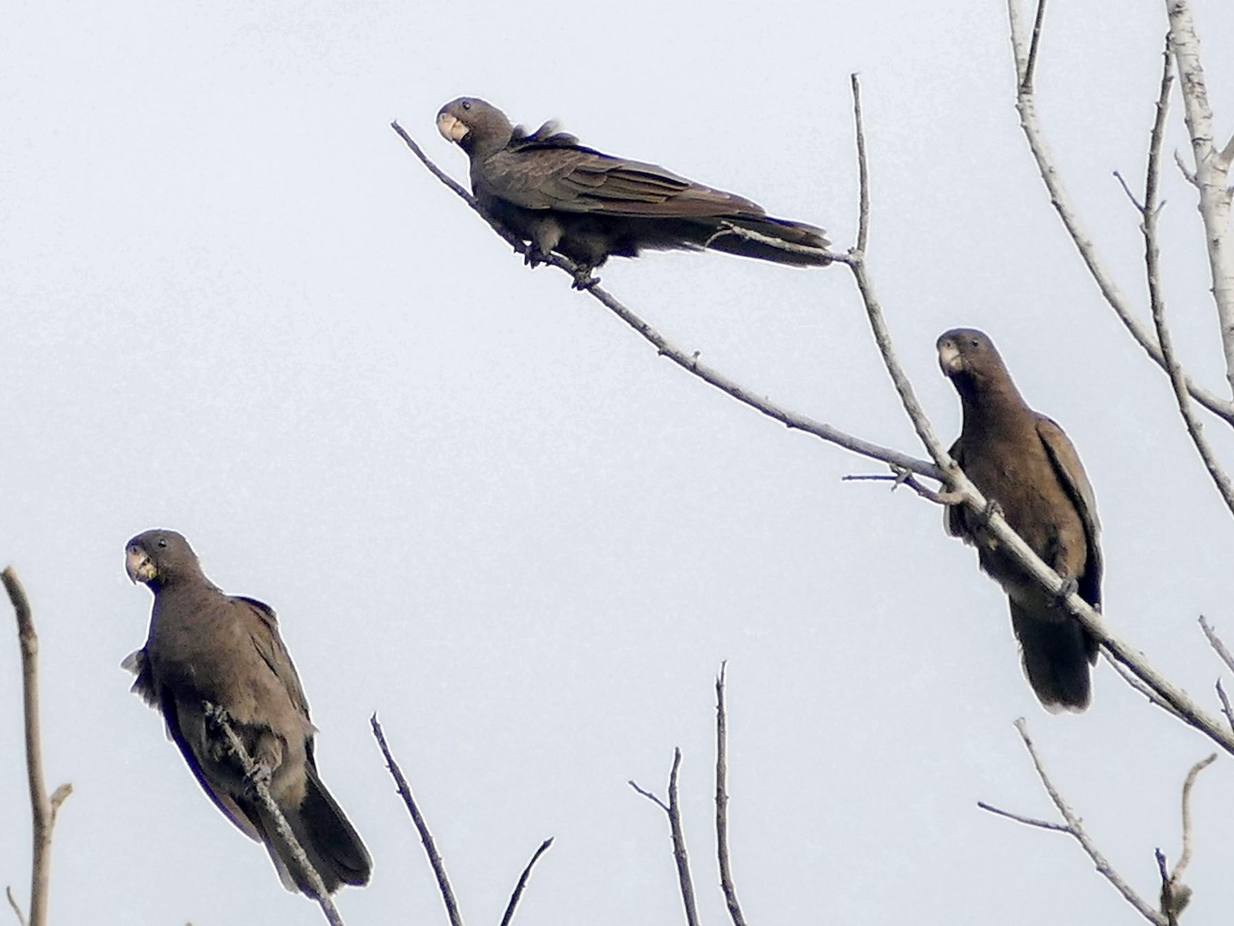 Seychelles Parrot - Peter Kaestner