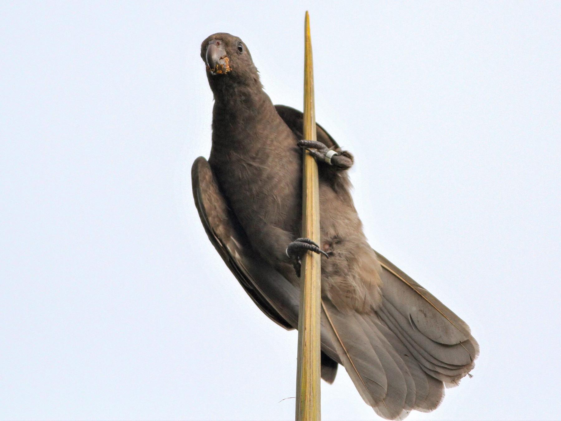 Seychelles Parrot - Alex Bayly