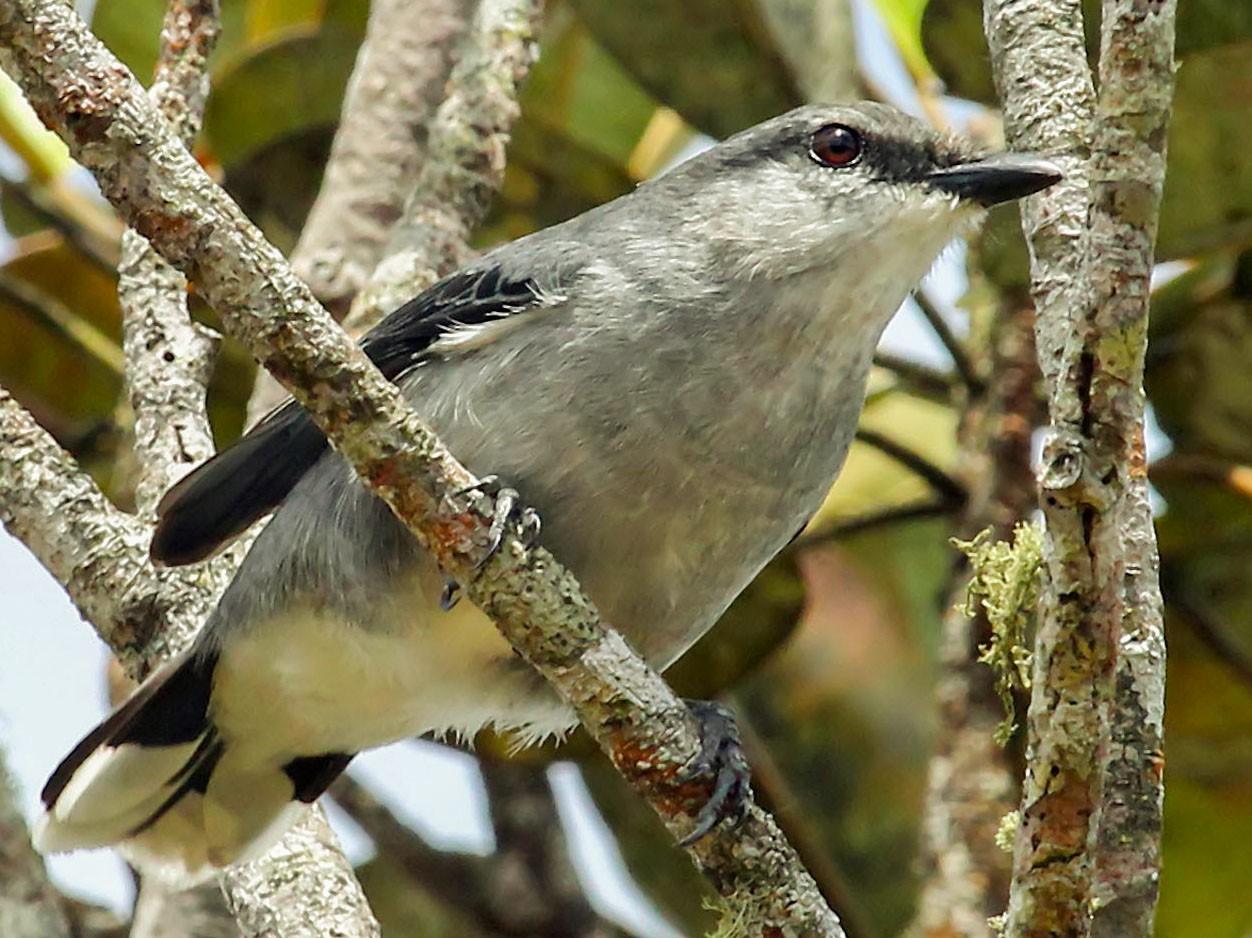 Mauritius Cuckooshrike - Phillip Edwards